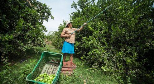 Female entrepreneur harvesting lemons